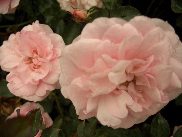 foto flache rosafarbene bl hende rose lang bl hend. Black Bedroom Furniture Sets. Home Design Ideas