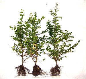 Hainbuche Carpinus betulus wurzelnackt mit Laub