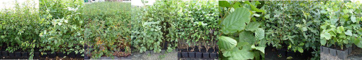 Auswahl an Wildgehölzpflanzen aus unserer Baumschule