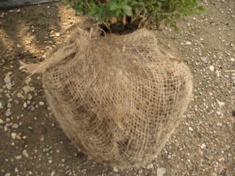 Ballierte Pflanze